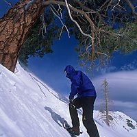 A snowshoer gingerly climbs a steep slope below a huge Ponderosa pine on Mount Rose, in the Sierra Nevada near Reno.