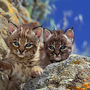 Bobcat, (Lynx rufus) Portrait of two kittens. Montana.   Captive Animal.