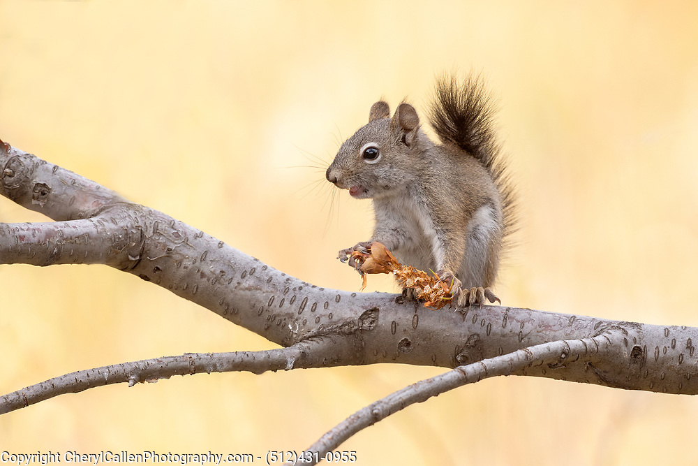 Pine Squirrel holding a pine cone