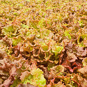 Red leaf lettuce growing in a hydroponic greenhouse