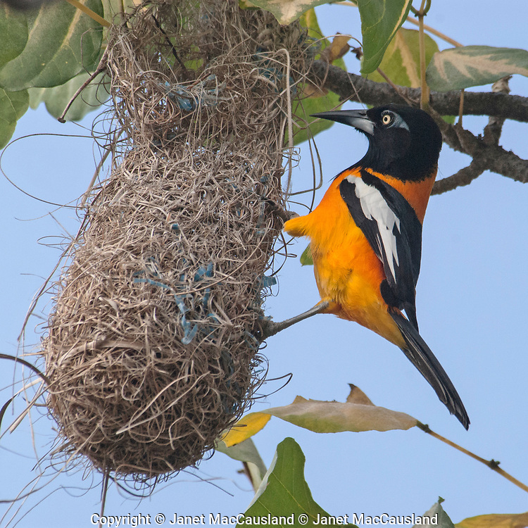 An Oriole in Bonaire, NA tends it's nest of grass and plastic fibers.