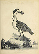 Cancroma The Boatbill The boat-billed heron (Cochlearius cochlearius syn Cancroma cochlearia) Copperplate engraving From the Encyclopaedia Londinensis or, Universal dictionary of arts, sciences, and literature; Volume III;  Edited by Wilkes, John. Published in London in 1810