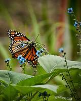 Monarch butterfly feeding on a Blue Forget-me-not flowers. Image taken with a Nikon 1 V3 camera and 70-300 mm VR lens