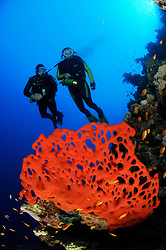 red fire sponge, Latrunculia magnifica, and scuba divers at colorful coral reef, Egypt, Red Sea, MR