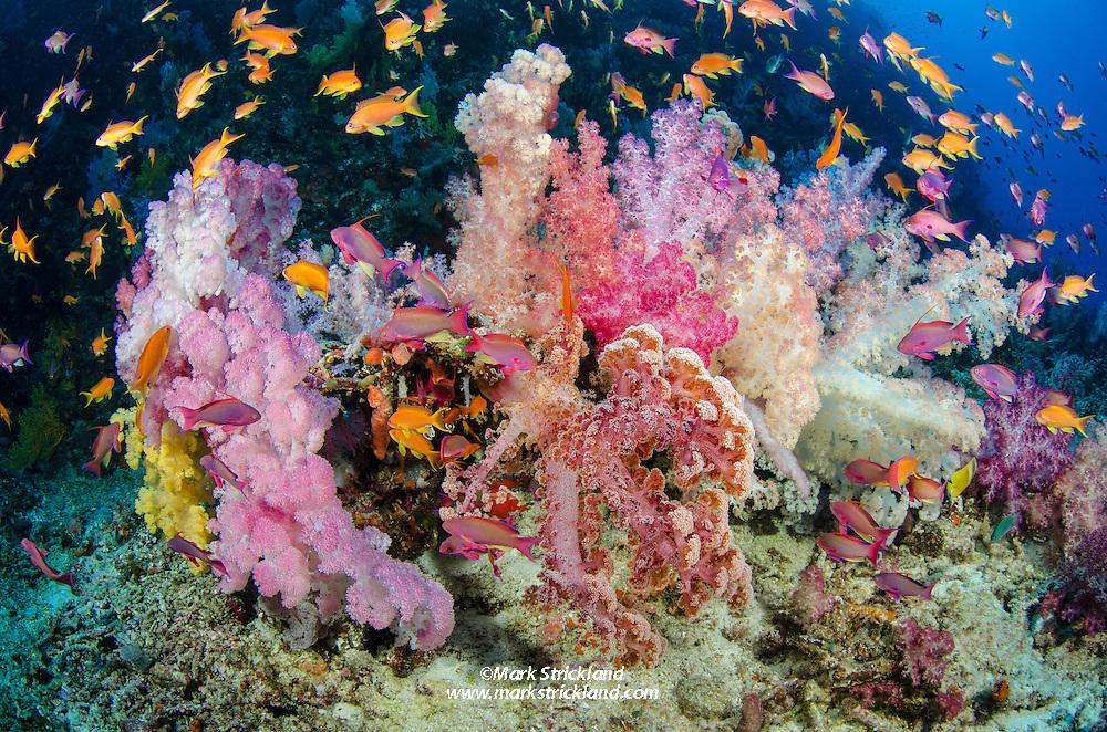 Colorful Soft Corals, Dendonepthya sp., thriving in brisk current. Vatu-i-ra, Bligh Water, Fiji, Pacific Ocean