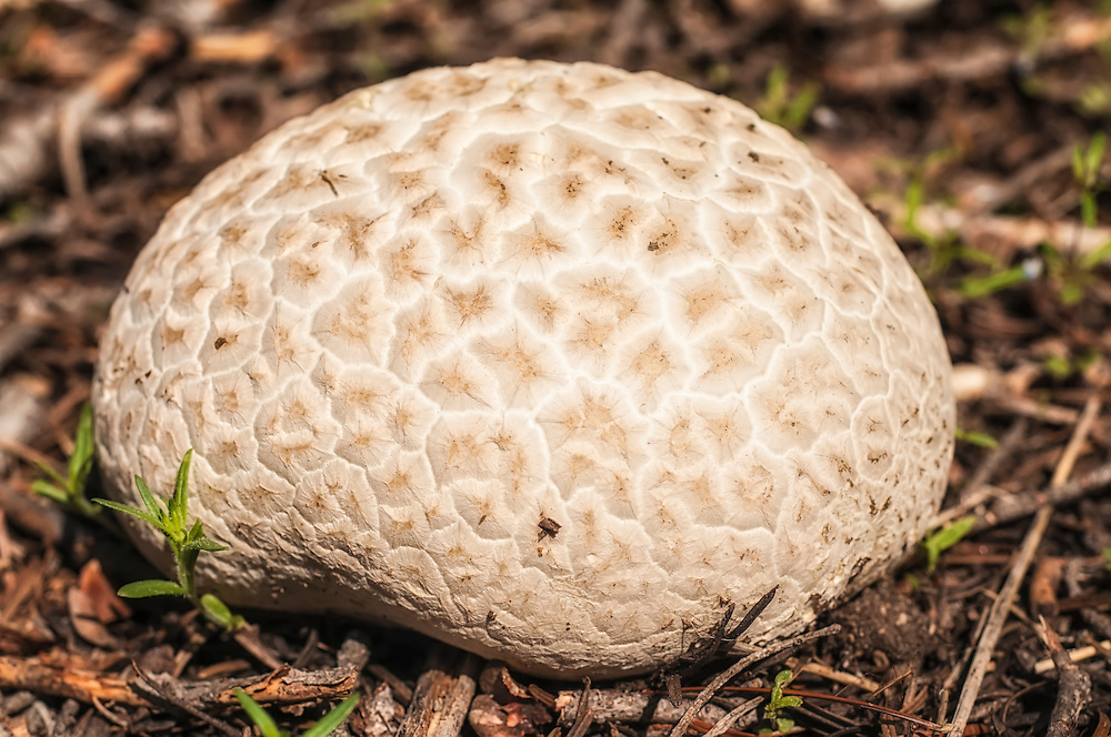 """This massive puffball I wandered into in the Cascade Mountains near Lake Wenatchee in Washington's Chelan County at first glance reminded me of a soccer ball, and very nearly got kicked before I stopped myself. It has a """"barnacled"""" pattern that was very useful in helping with identification."""