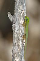 Gecko at Pu?uhonua o Honaunau National Historic Park. Image taken with D2xs and 105 mm f/2.8 macro lens (ISO 100, f/5.6, 1/125 sec)..