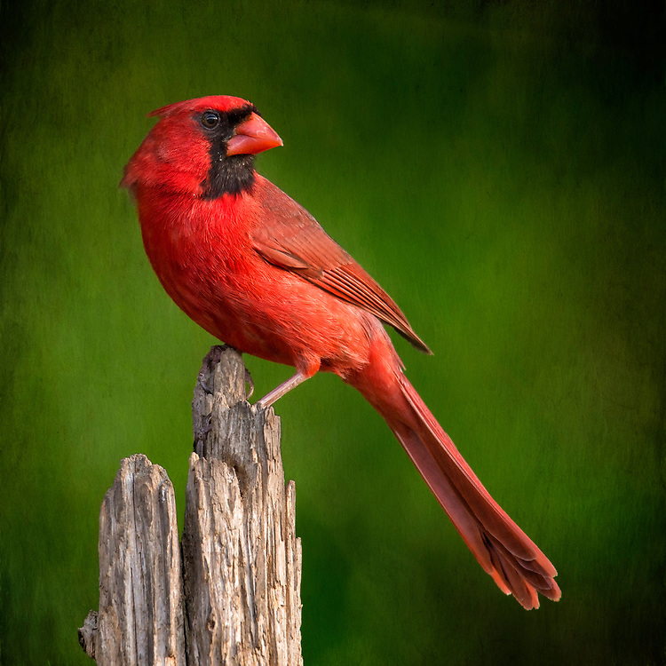 A Bold Red Male Northern Cardinal Perched Against Deep Green