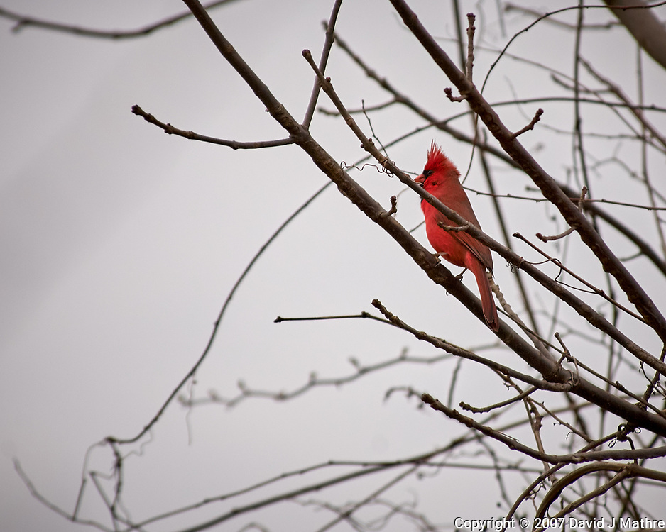 Northern Cardinal. Image taken with a Nikon D2xs camera and 80-400 mm VR telephoto zoom lens.