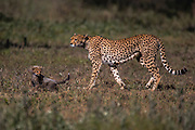 A cheetah mother and her young cubs (Acinonyx jubatus) walking together in the morning,  Ndutu, Ngorongoro Conservation Area, Tanzania, Africa