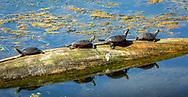 Four painted turtles sunbathing on a log in Lake Waubesa, just off the mile-long boardwalk bridge on the Lower Yahara River Bike Trail. Photo taken August 22, 2019.
