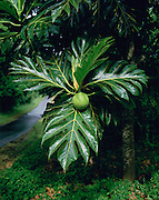Breadfruit Tree, Opihikau, Hawaii, USA<br />