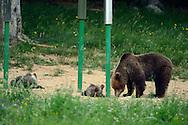 Brown bear, Ursus arctos, at feeding site/hunting site in  Piatra Craiului, the Cartpathians, Transsylvania, Romania