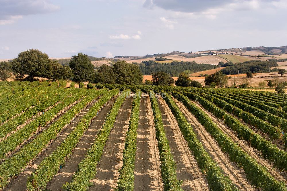 vineyard field in France the Languedoc