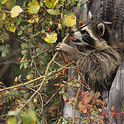 Raccoon (Procyon lotor) feeding on rosehips during the fall in Montana. Captive Animal