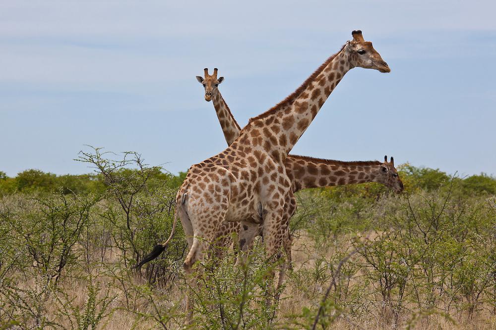 The three headed Giraffe eating the thorny Acacia tree in Etosha N.P. Namibia.