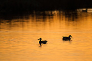 Shovellers at sunset in pond