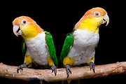 White-Bellied Caiques (Pionites leucogaster leucogaster). These two colorful clowns love to perform tricks and can never have too many toys that shake, rattle, and roll.