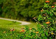 Rural butterfly garden, Mexican Sunflowers, Berks Co. PA
