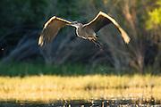 Great Blue Heron, Montana.