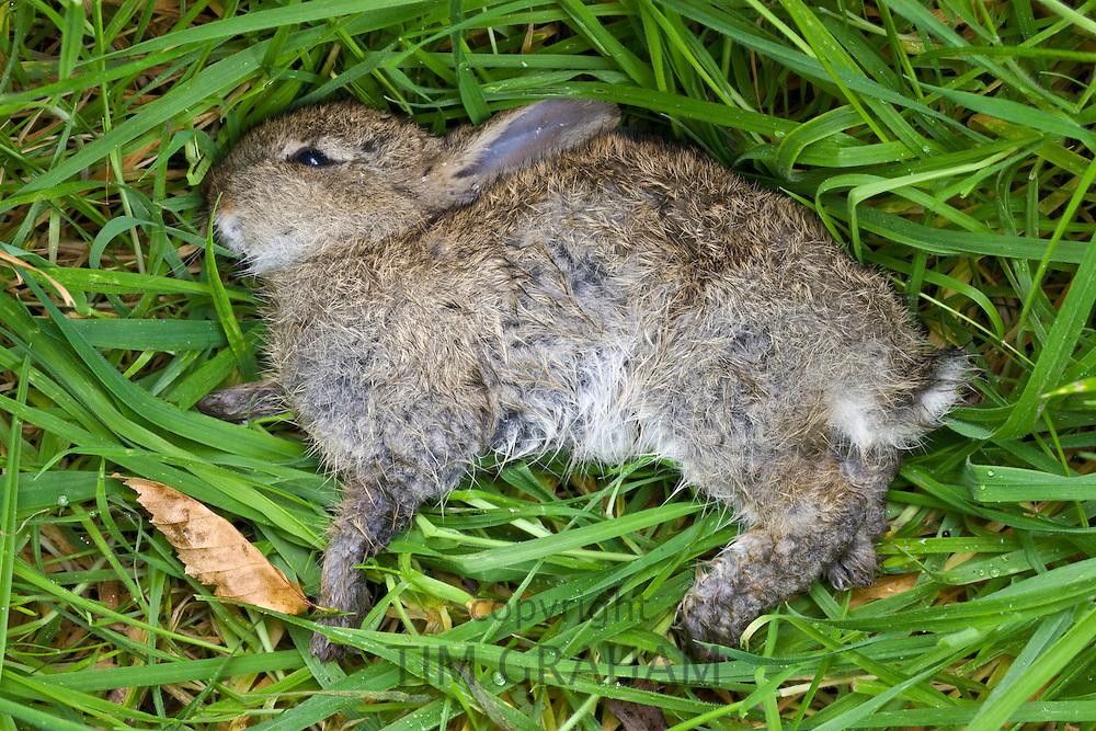 Dead rabbit lying in verge, UK