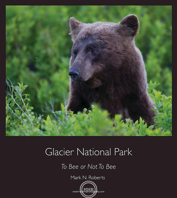 A Bear in Glacier National Park stares down a Bee.
