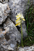 Sparsely-flowering Orchid (Orchis pauciflora), Katharo, Crete