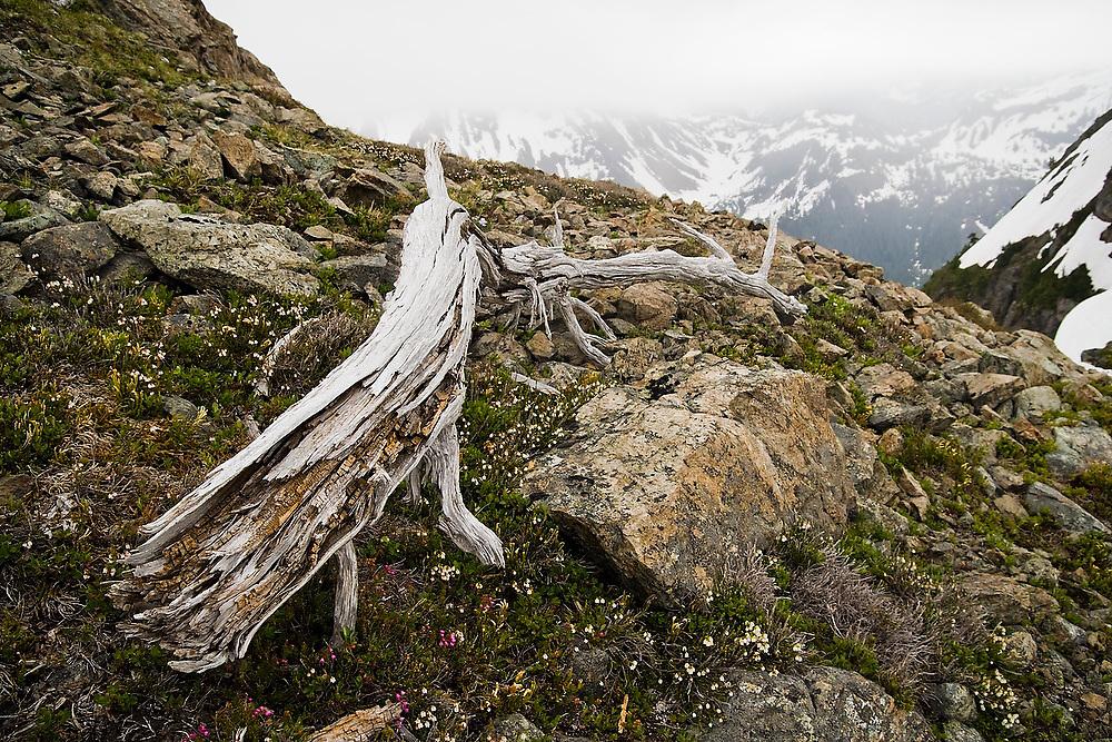 Dwarfed alpine vegetation grows around a gnarled stump below Tomyhoi Peak, Mount Baker Wilderness, Washington.