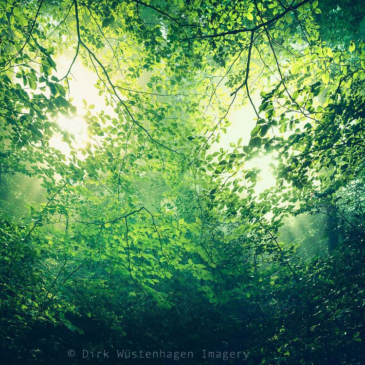 sunlight through fresh green foliage - photomanipulation/ double exposure<br /> Redbubble--> https://www.redbubble.com/shop/ap/49416886