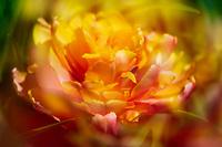 "A dreamy ""Tulip Princess Orange"" in the sun."