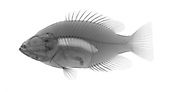 An X-ray of a freshwater Rockbass fish.