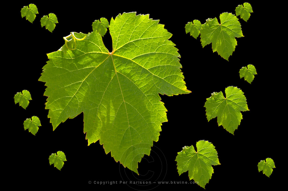 Malbec leaves of different sizes  Chateau Bouscaut Cru Classe Cadaujac  Graves Pessac Leognan  Bordeaux Gironde Aquitaine France