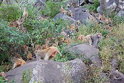Rhesus Macaque Monkeys, Mount Popa