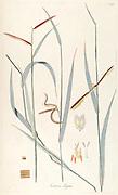 Hand painted botanical study of a Paspalum ceresia (Ceresia elegans) plant anatomy from Fragmenta Botanica by Nikolaus Joseph Freiherr von Jacquin or Baron Nikolaus von Jacquin (printed in Vienna in 1809)