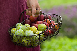 Carrying basket of greengages and plums