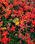 Autumn tundra of swedish dwarf cornel, Cornus suecica (red), cloudberry, Rubus chamaemorus (orange-green), and crowberry, Empetrum nigrum (green), Wood-Tikchik State Park, Alaska.