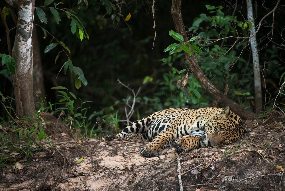 Jaguar (Panthera onca) male<br /> Northern Pantanal<br /> Mato Grosso<br /> Brazil<br /> (Adriano)Jaguar (Panthera onca) male<br /> Northern Pantanal<br /> Mato Grosso<br /> Brazil<br /> (Adriano)