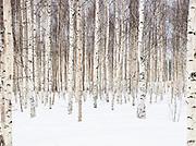 Junosuando Woodland, Sweden, lapland.