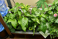 AeroGarden Farm 03, Left. Pepper Plants (115 days). Image taken with a Leica TL-2 camera and 35 mm f/1.4 lens (ISO 500, 35 mm, f/8, 1/30 sec).