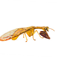 Neuroptera - Antlions, Owlflies, Lacewings, Mantidflies and Allies