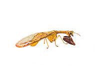 Dicromantispa interrupta - mantidfly