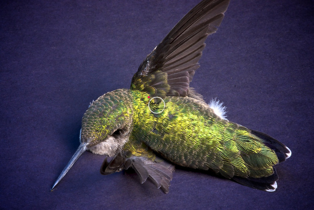 ruby throated hummingbird side