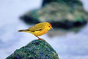 Yellow Warbler bird on rock, Santa Cruz, the Galapagos Islands, Ecuador