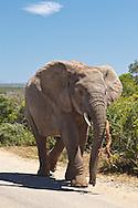 Elephant (Loxodonta africana) walking up road carrying small branch in Addo Elephant Park, near Port Elizabeth, Eastern Cape, South Africa