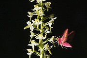 Small Elephant Hawk-moth (Deilephila porcellus) nectaring on Greater Butterfly Orchid (Platanthera chlorantha) with pollinia. Sussex, UK.