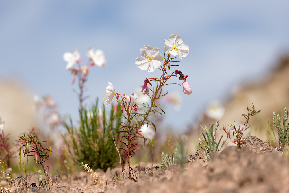 Primrose in bloom in the desert of Southern Utah.