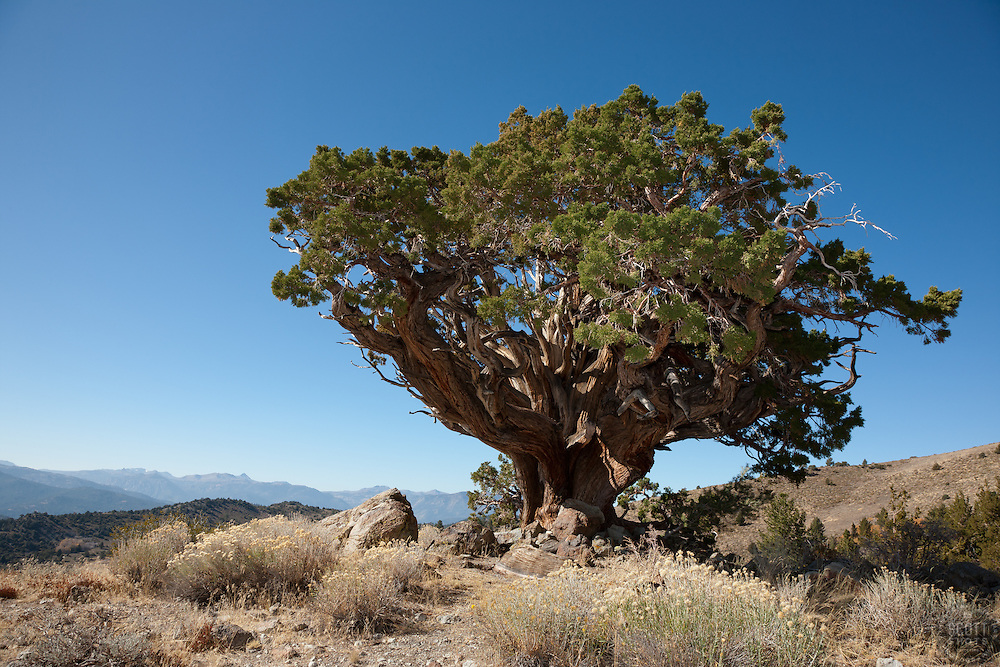 """""""Juniper Tree 3"""" - This very old juniper tree was photographed along Monitor Pass, California."""