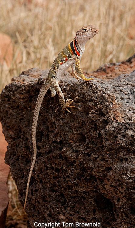 Collard Lizard on a basalt rock