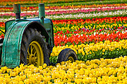 Tulip Fields, Willamette Valley, Oregon.