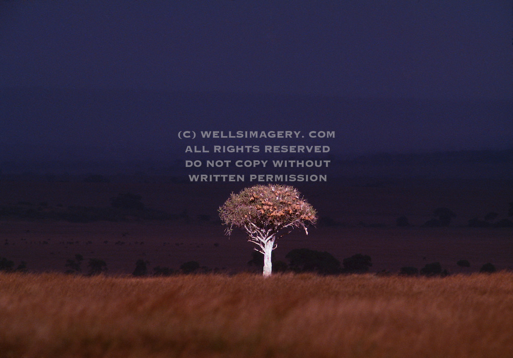 Image of a lone tree on a savannah, storm clouds in distance, Masai Mara Reserve, Kenya, Africa by Randy Wells